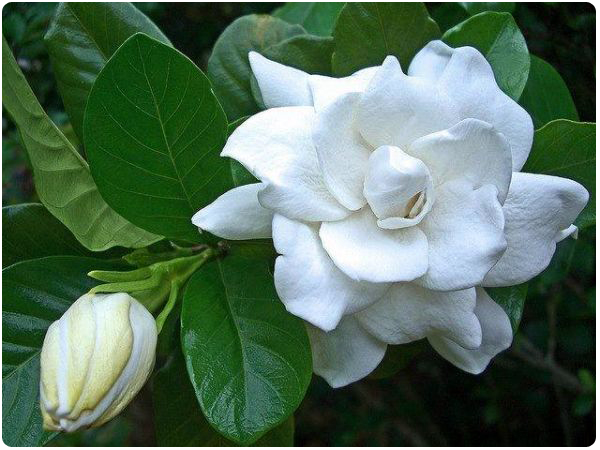 Rosal/Gardenia photo taken from the internet